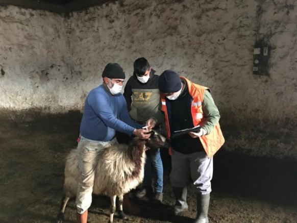 Anaç koyun ve keçiler tespit ediliyor