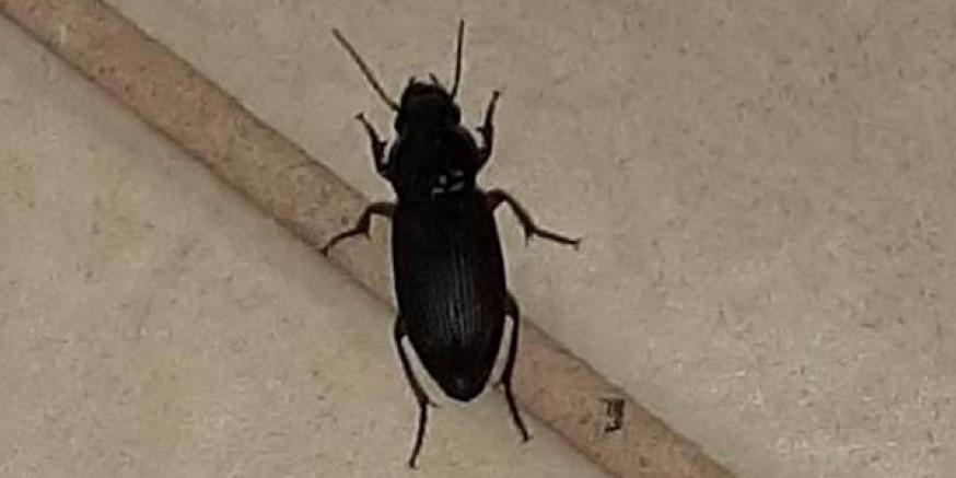 Kars'ı böcekler bastı