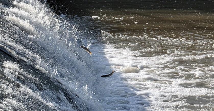 Kars'ta tatlı su kefallerinin zorlu göçü başladı