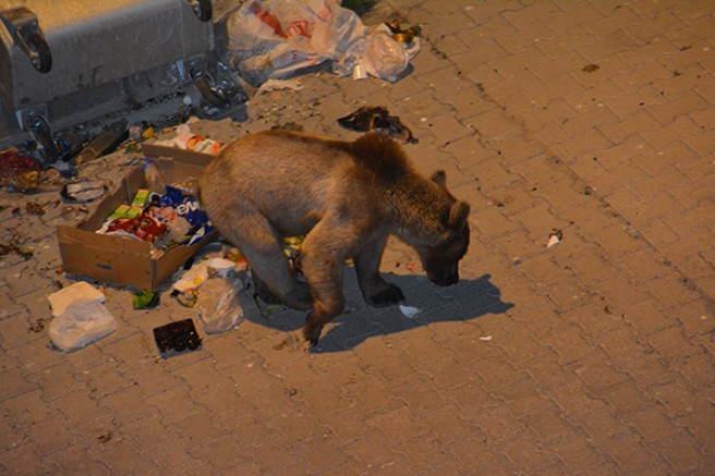 Sarıkamış'ta aç kalan yavru boz ayı çöpte yiyecek aradı